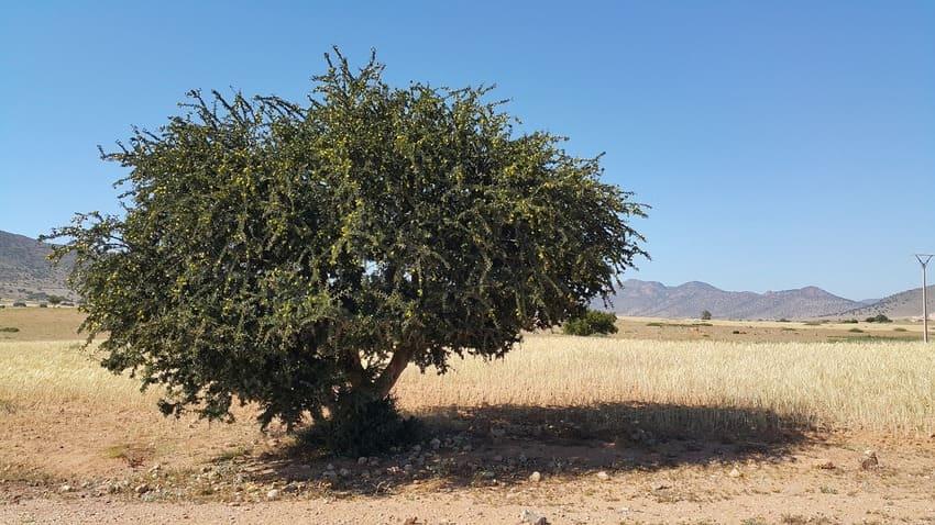 albero di argan