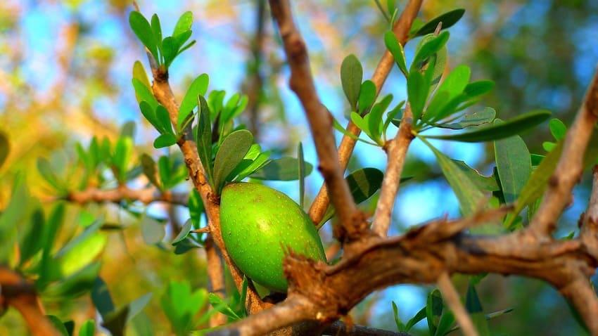 argan frutto