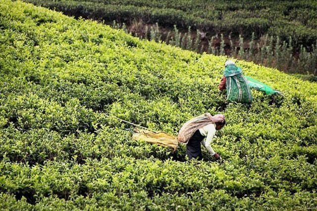 tè di Ceylon